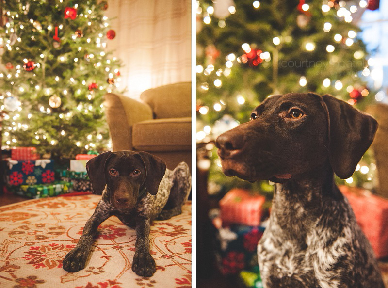 German Shorthaired Pointer Christmas