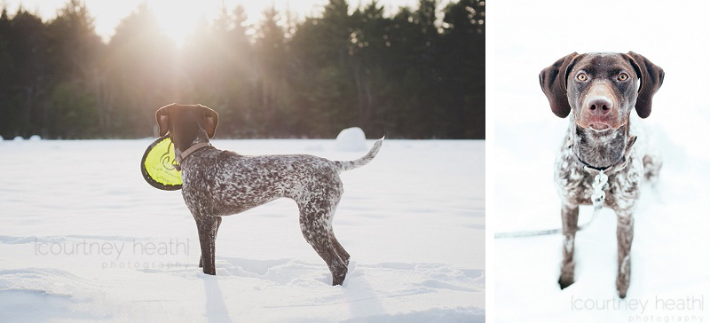 Winter German Shorthaired Pointer