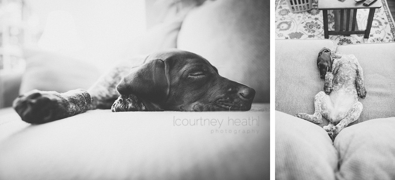 German Shorthaired Pointer puppy sleeping
